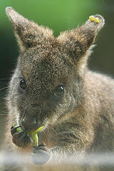 Känguru (CC BY-SA 2.0 suneko flickr)